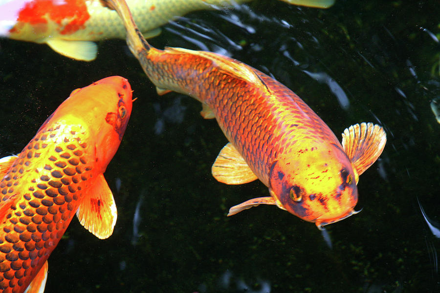 Golden koi photograph by james knight for Japanese fish flag