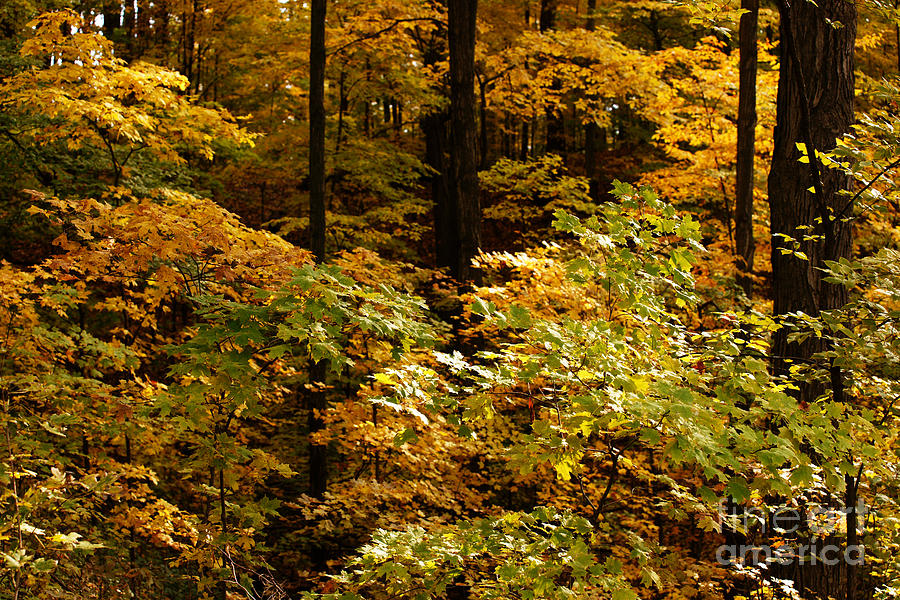 Autumn Photograph - Golden Leaves In Autumn by Linda Shafer