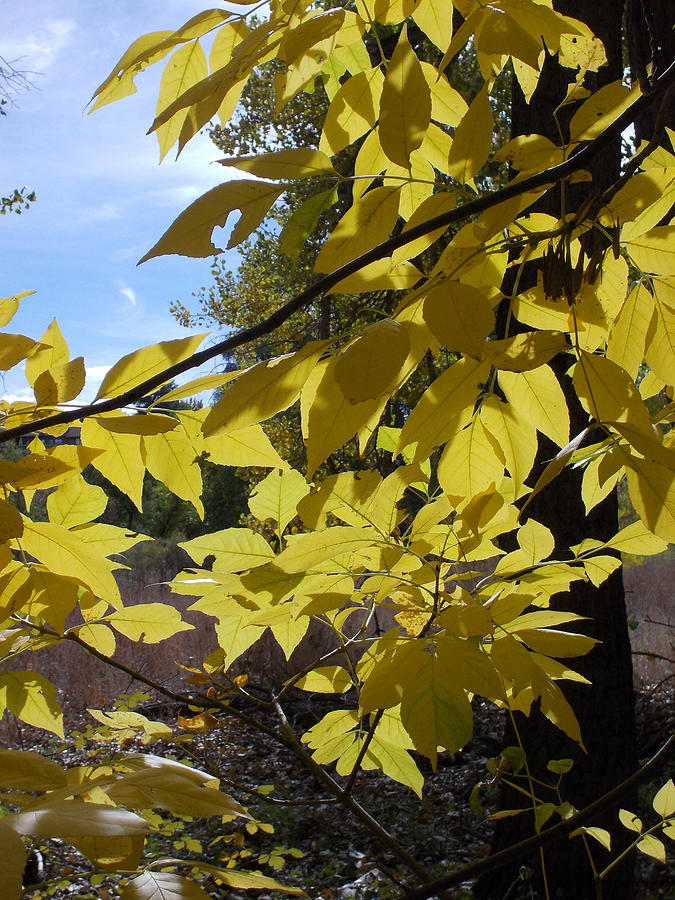 Golden Leaves Photograph