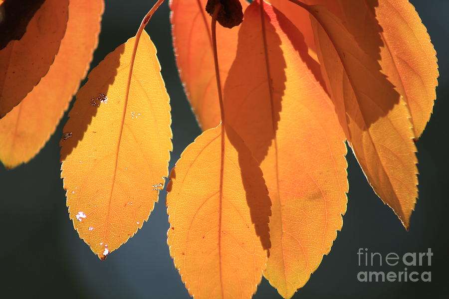 Leaf Photograph - Golden Leaves With Golden Sunshine Shining Through Them by Robert D  Brozek