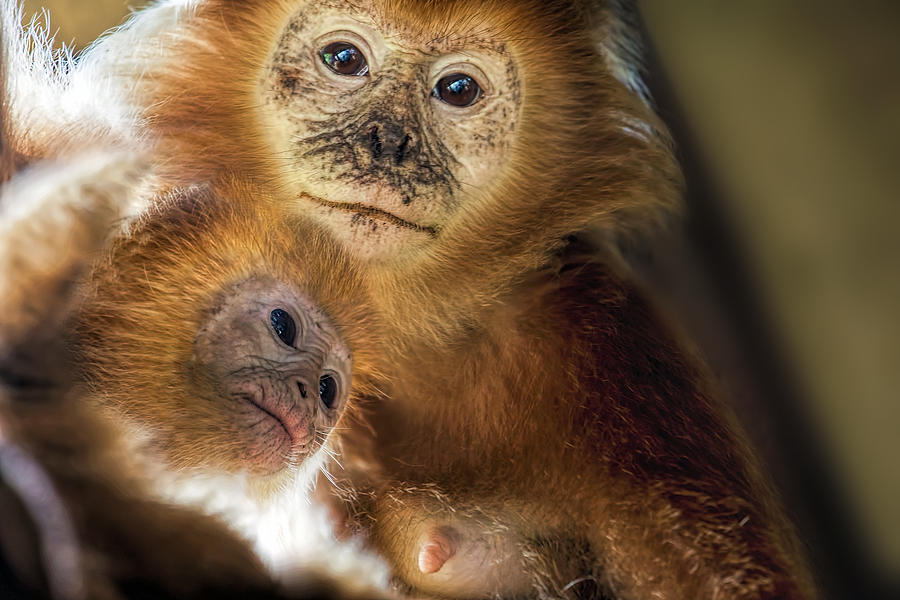 Golden Photograph - Golden Lion Tamarin Mother And Baby by David Gn