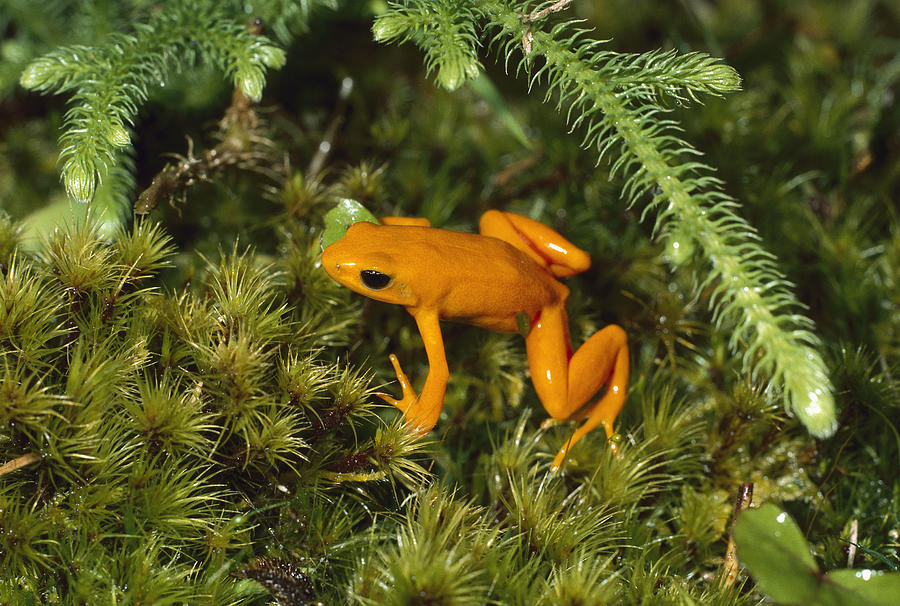 Golden Mantella Frog In Underbrush Photograph by Konrad Wothe