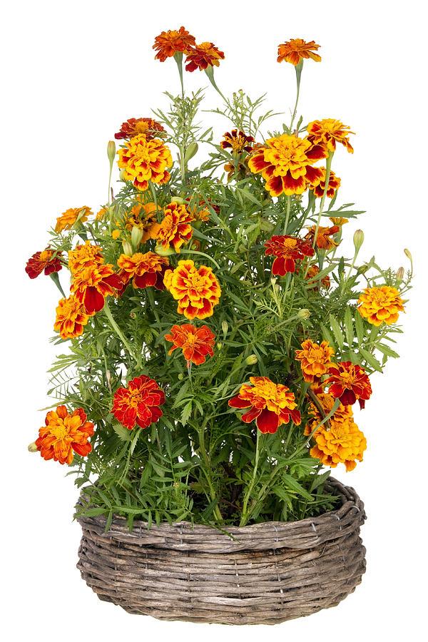 Marigold Photograph - Golden  Marigold flowers grow in basket by Aleksandr Volkov