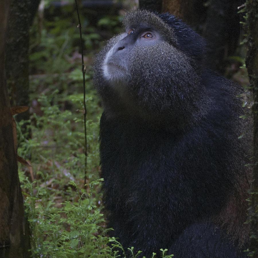 Rwanda Photograph - Golden Monkey by Paul Weaver