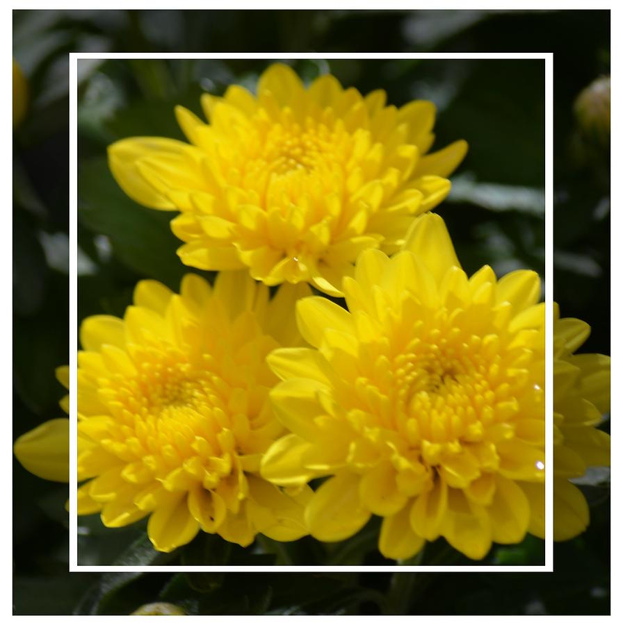 Yellow Photograph - Golden Mums Of Autumn by Maria Urso