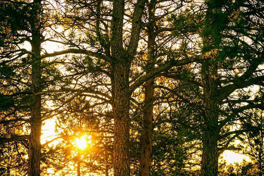 Golden Photograph - Golden Pine Tree Forest by James BO Insogna