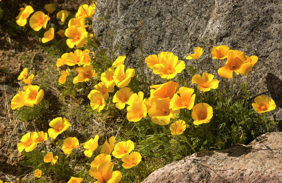 Golden Poppies Among Rocks Photograph by Elflacodelnorte