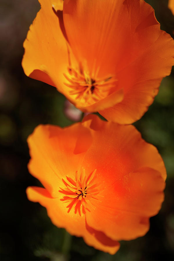 Flower Photograph - Golden Poppyies by Gilbert Artiaga