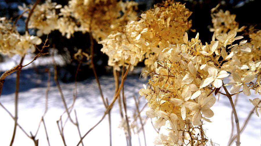 Golden Photograph - Golden Purity by Danielle  Broussard