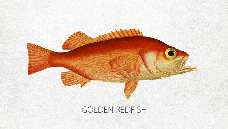 Golden Redfish Digital Art - Golden Redfish by Aged Pixel