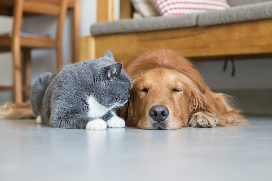 Golden Retriever And British Shorthair by Chendongshan