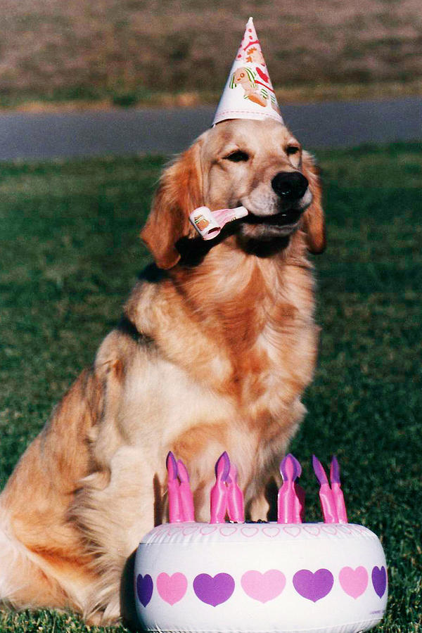 Golden Retriever Dog Birthday Photograph By Kathy Sidjakov