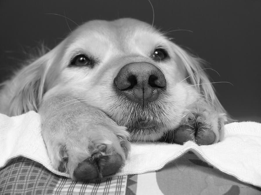 Golden Retriever Photograph - Golden Retriever Dog I See You by Jennie Marie Schell