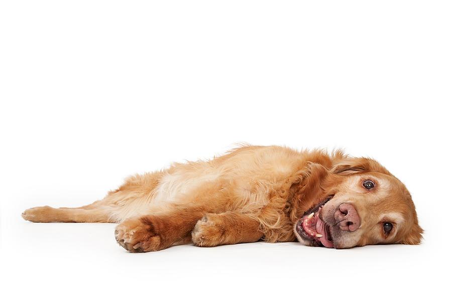 Dog Photograph - Golden Retriever Dog Laying Down  by Susan Schmitz