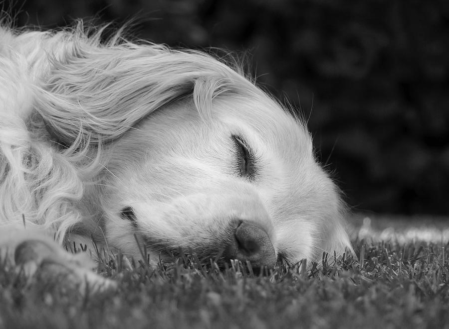 Golden Retriever Photograph - Golden Retriever Dog Sweet Dreams Black And White by Jennie Marie Schell