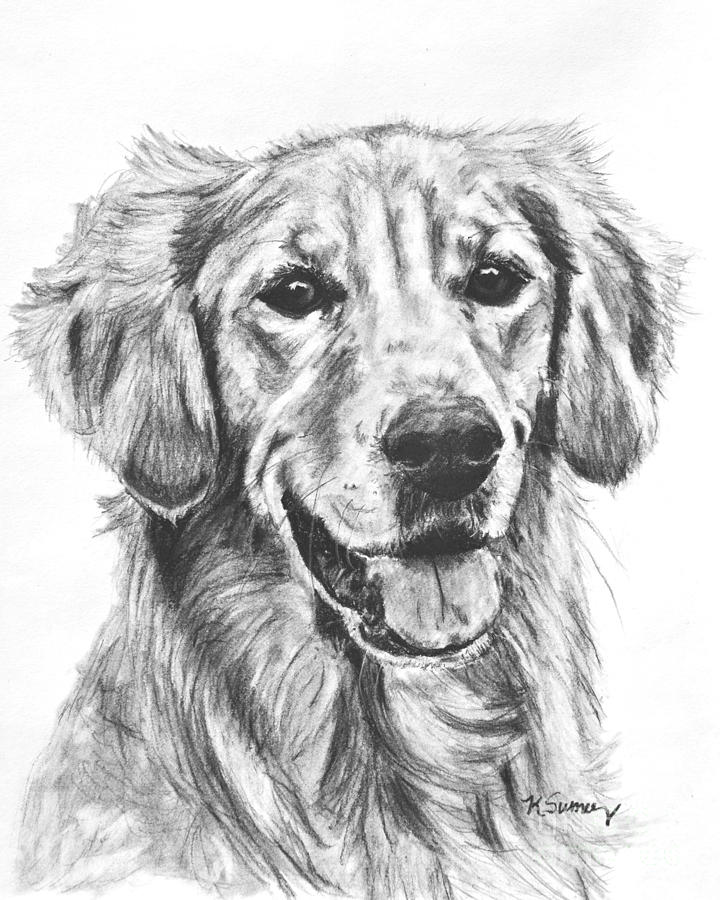 Golden Retriever Head And Shoulders Drawing by Kate Sumners
