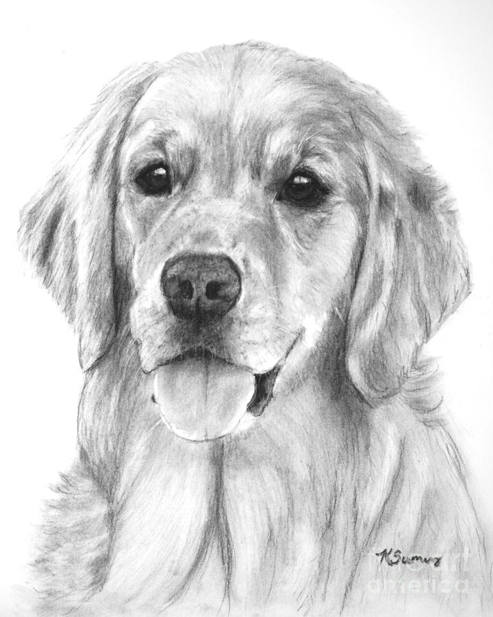 Golden Retriever Drawing - Golden Retriever Jessie Adult by Kate Sumners