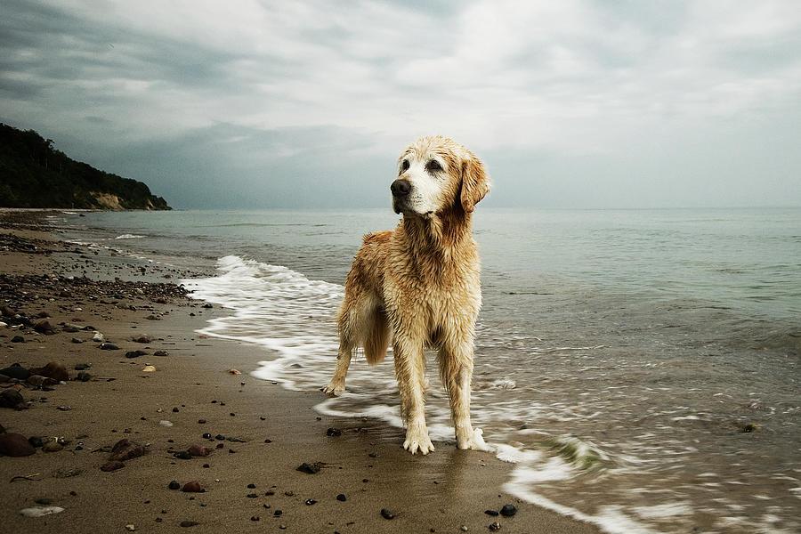 Golden Retriever On Beach Photograph by Jutta Bauer