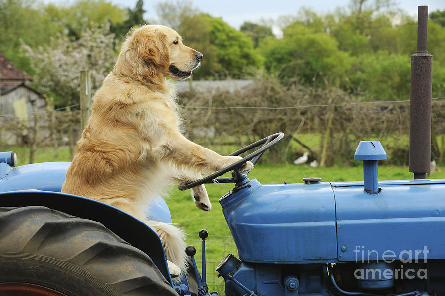 Golden Retriever On Tractor Photograph By John Daniels