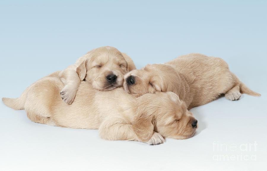 Golden Retriever Photograph - Golden Retriever Puppies Asleep by John Daniels