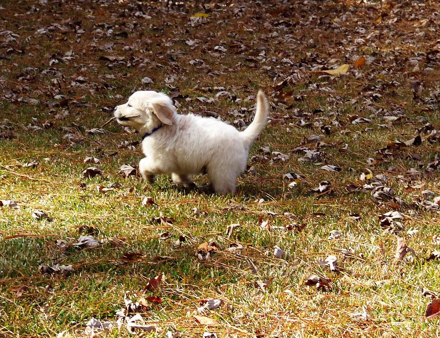 Golden Photograph - Golden Retriever Puppy by Andrea Anderegg