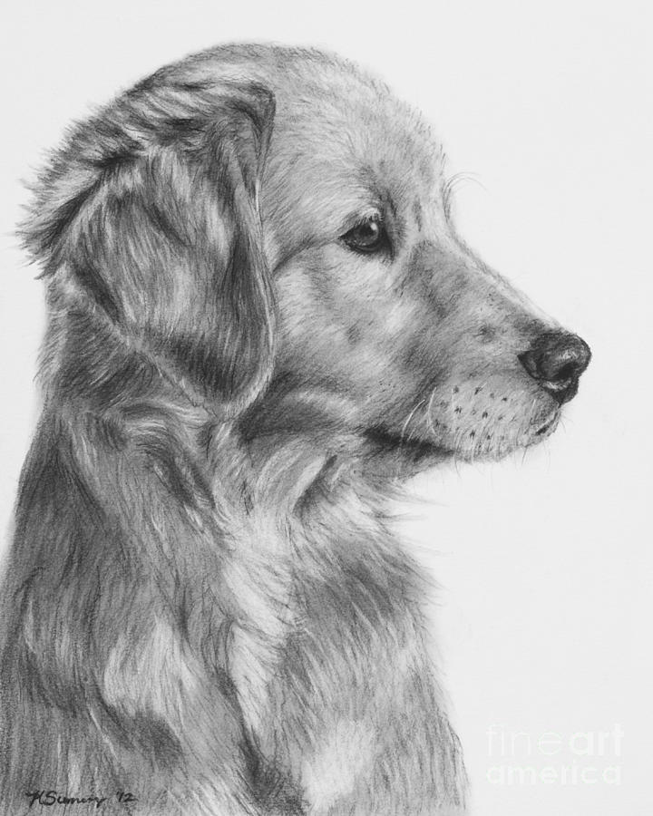 golden retriever puppy in charcoal one drawing by kate sumners