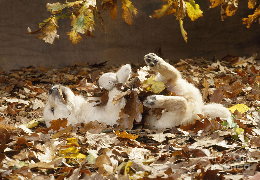 Golden Retriever Puppy In Leaves Photograph By John Daniels