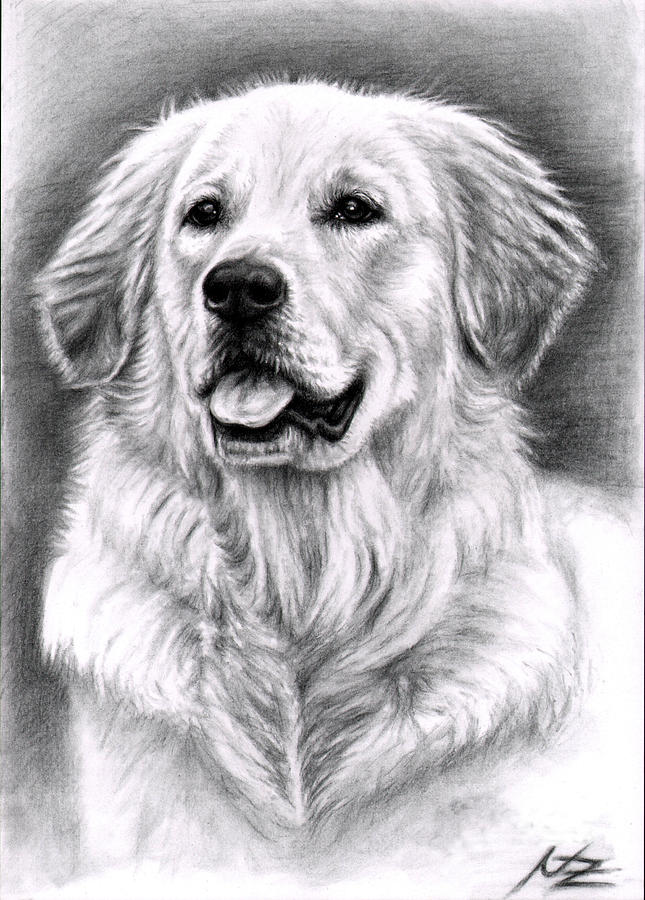 Dog Drawing - Golden Retriever Spence by Nicole Zeug