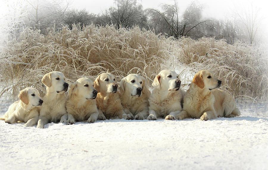 Golden Retrievers Photograph by Sergey Ryumin