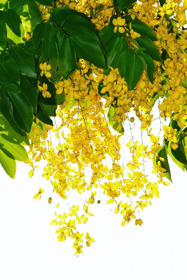 Golden shower flowers