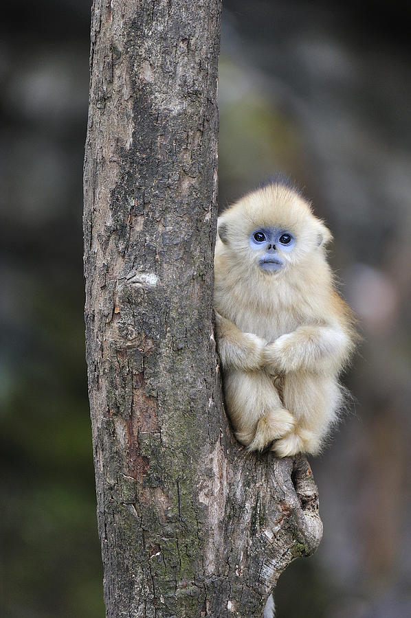 Golden Snub Nosed Monkey Young China Photograph By Thomas