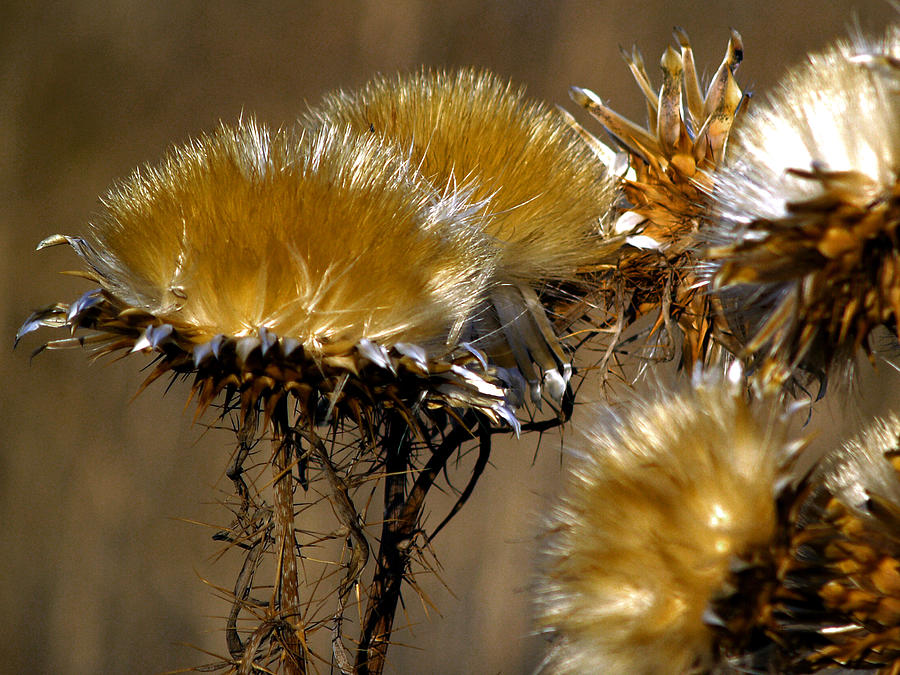 Wild Flowers Photograph - Golden Thistle by Bill Gallagher