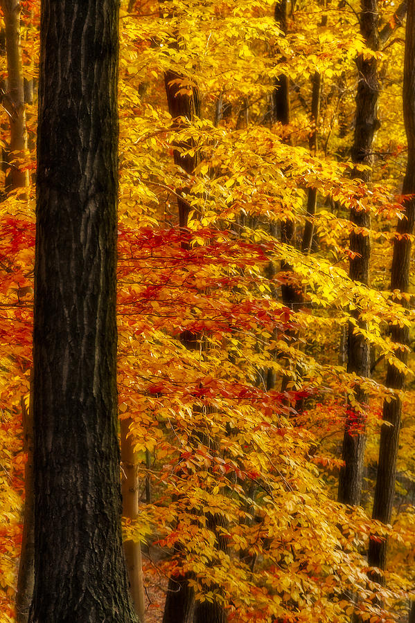 Autumn Photograph - Golden Trees Glowing by Susan Candelario