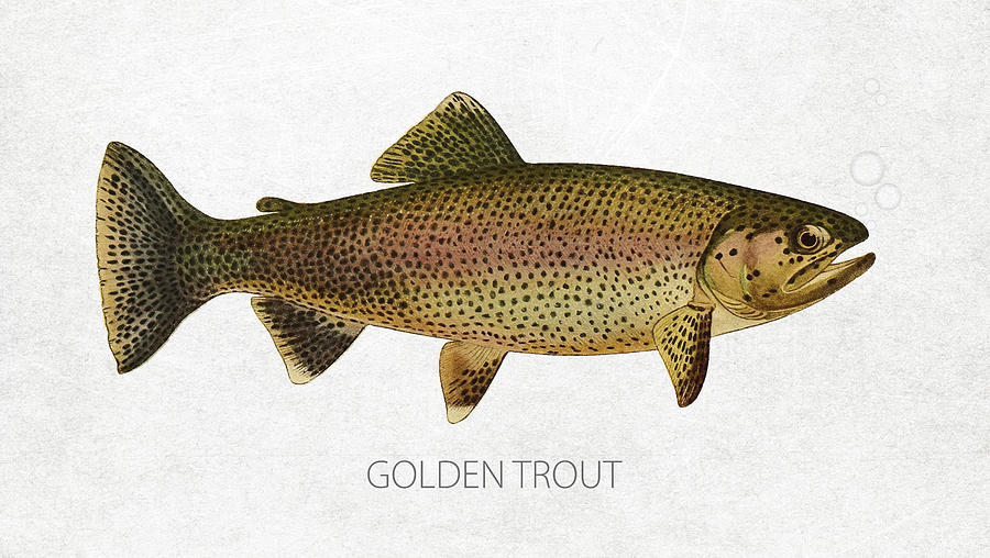 Golden Trout Drawing - Golden Trout by Aged Pixel