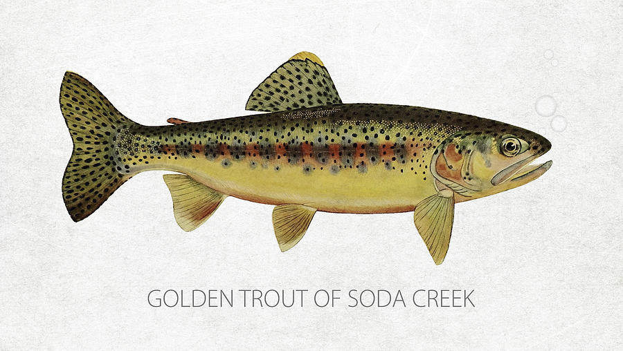 Golden Trout Drawing - Golden Trout Of Soda Creek by Aged Pixel