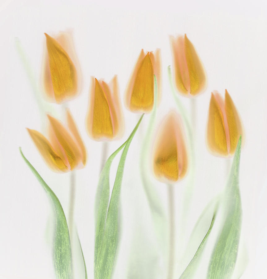 Tulips Photograph - Golden Tulips by Brian Haslam