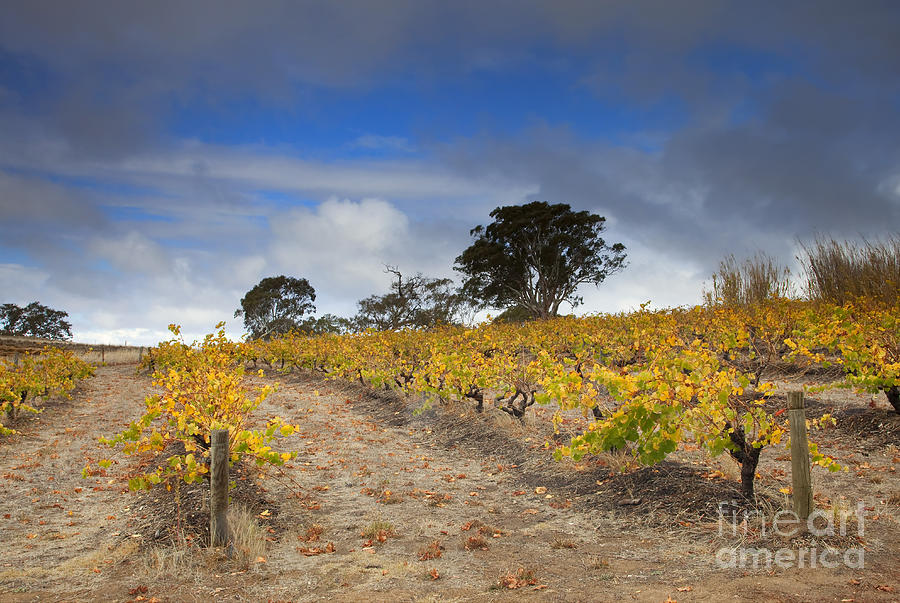 Golden Photograph - Golden Vines by Mike  Dawson