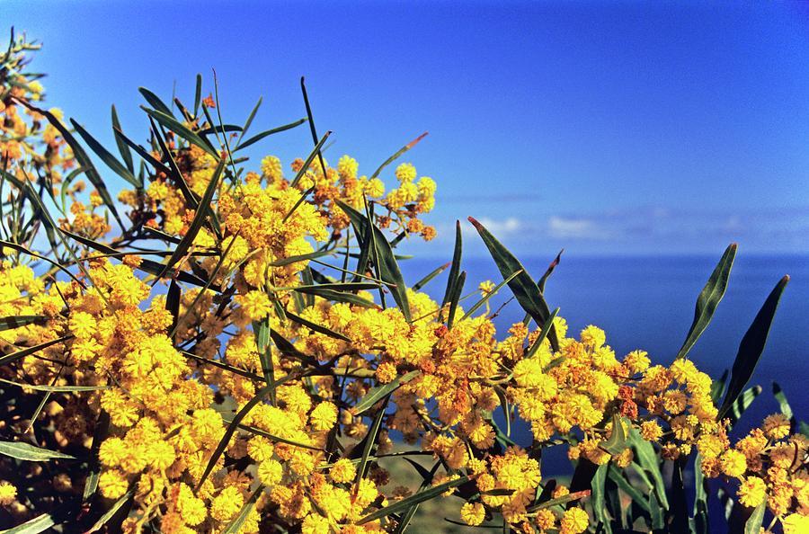 Golden Wattle Acacia Longifolia Photograph By Dr John