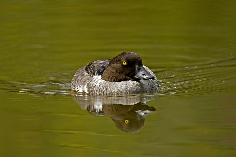 Goldeneye Photograph - Goldeneye by Paul Scoullar