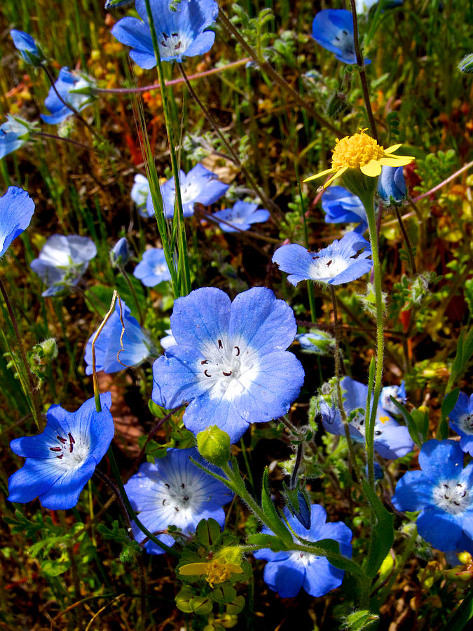 Goldfields Photograph - Goldfields And Baby Blue Eyes In Park Sierra-ca by Ruth Hager