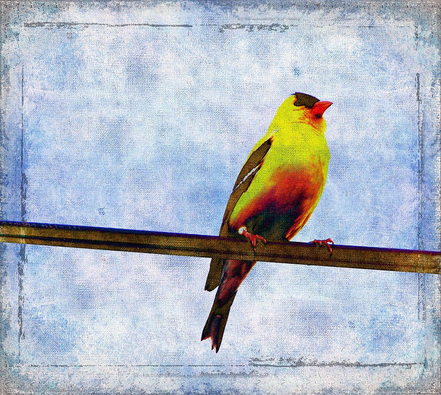 Goldfinch Digital Art - Goldfinch by Cassie Peters