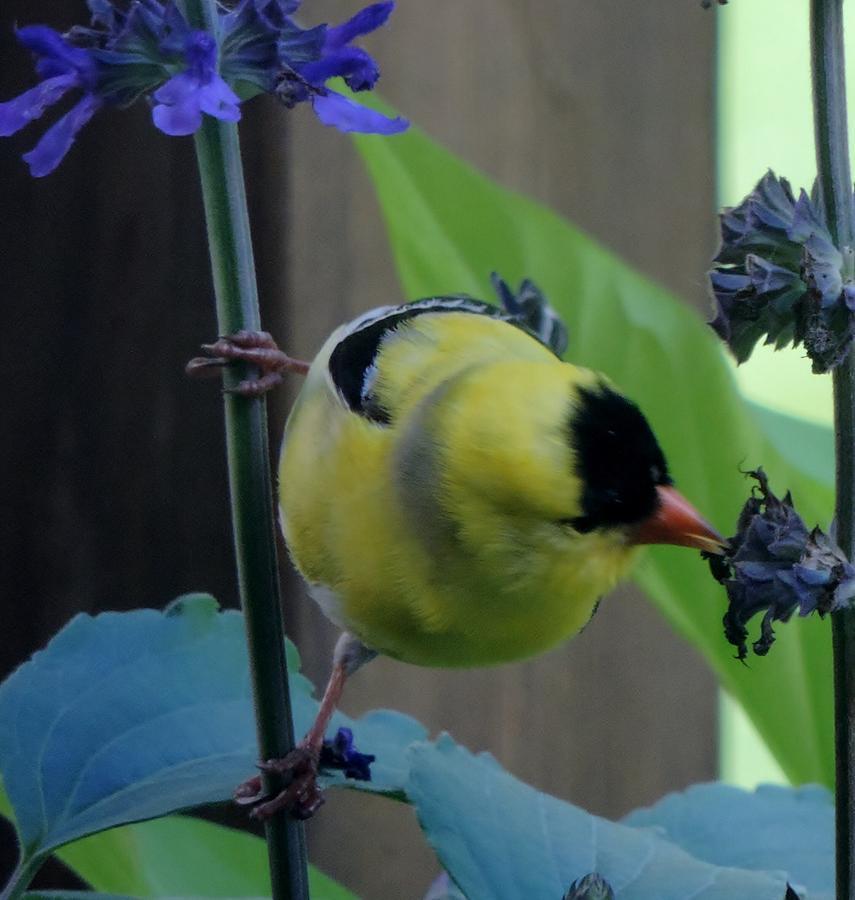 Goldfinch feeding by Frank Hamilton