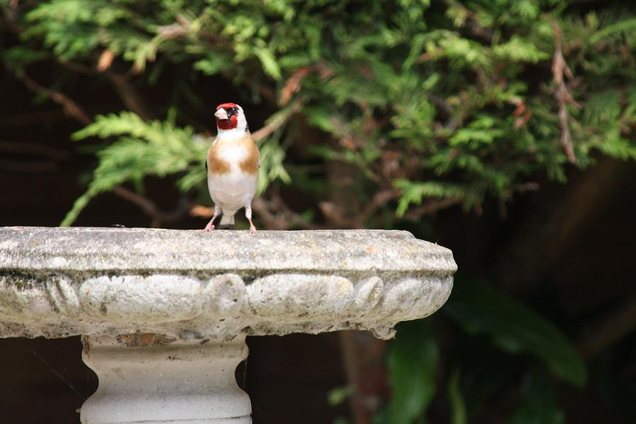 Goldfinch On Birdbath Photograph by Gordon Auld