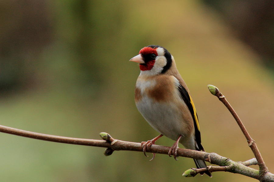 Goldfinch Photograph by Peter Skelton