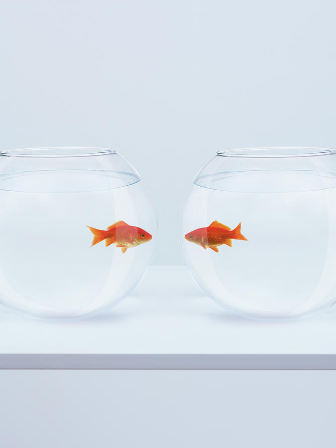 Goldfish In Separate Fishbowls Looking Photograph by Adam Gault