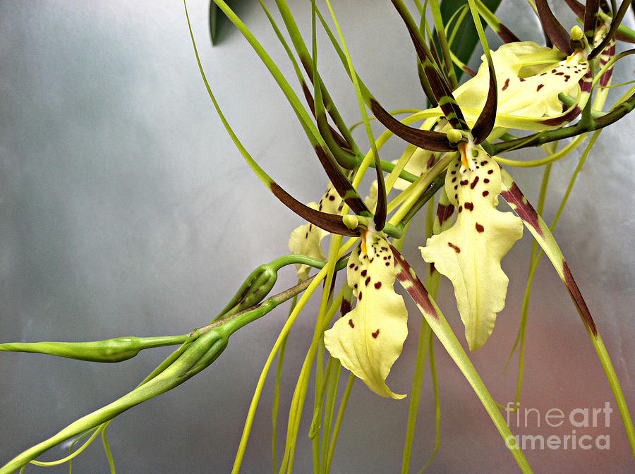Orchid Photograph - Goldilocks Orchid by Addie Hocynec