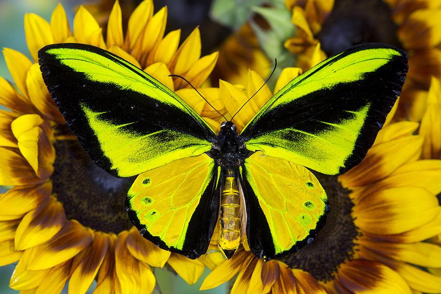 Sưu tập Bộ cánh vẩy 2 - Page 59 Goliath-birdwing-butterfly-ornithoptera-goliath-samson-male-on-sunflower-danita-delimont