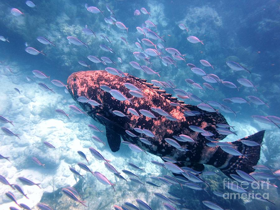 Underwater Photograph - Goliath Grouper by Daniel Smith