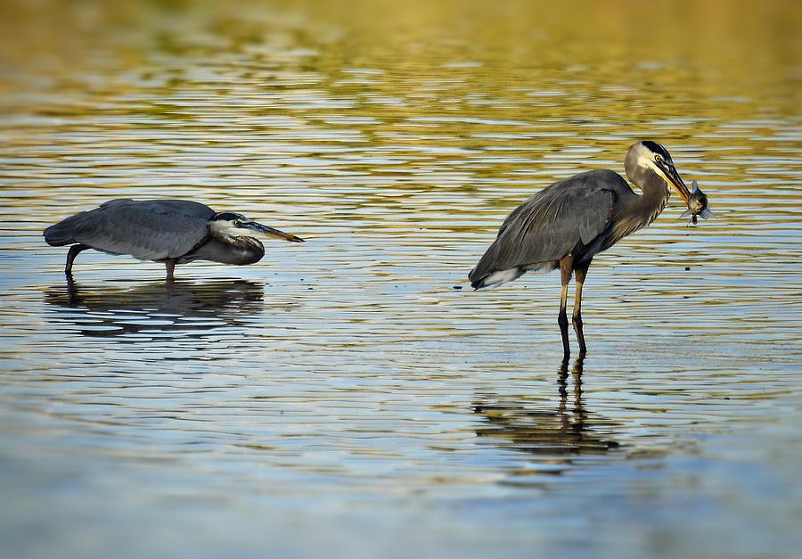 Great Blue Heron Photograph - Gone Fishin by Saija  Lehtonen