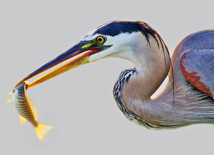 Great Blue Heron Photograph - Gone Fishing by Paulette Thomas